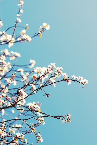 WEEK 6 OF 52: Cherry Blossom