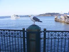 Giant Sea Gull