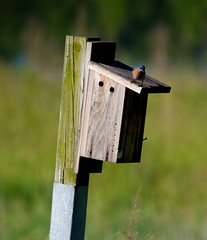 perching bird, wood, wing, birdhouse, green, fauna, bluebird, bird,