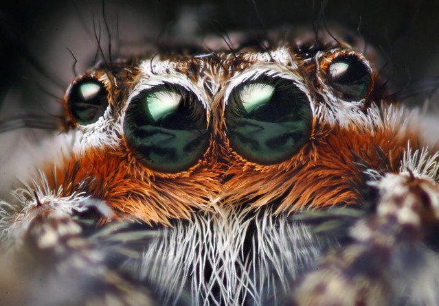 Anterior Median Eyes of a Male Platycryptus undatus Jumping Spider