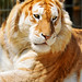 Lying golden tiger
