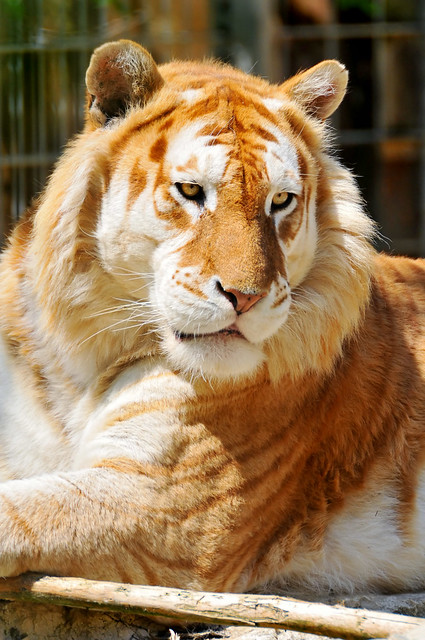 golden tiger flash