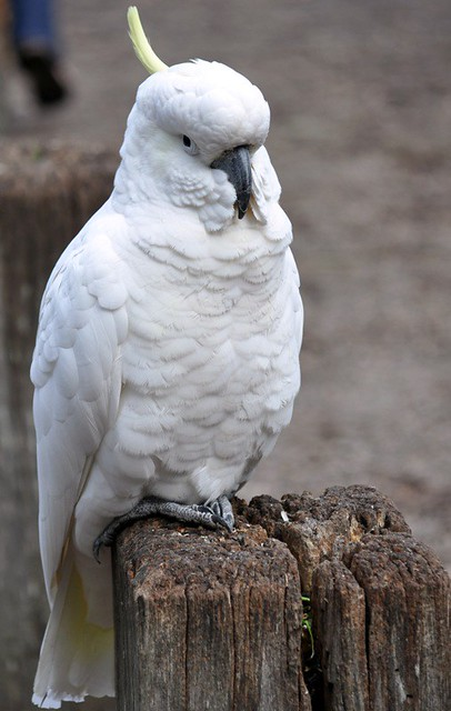 cockatoo posing1
