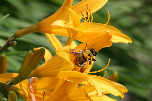 ohio lucascounty toledo parks localparks toledobotanicalgarden flowers lilies animals smallanimals bees may2009 may 2009 canon702004l