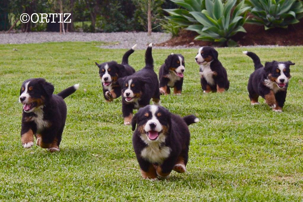 Bernese Mountain Dog Puppies Laura Ortiz Flickr