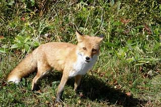 狐飛出!!
