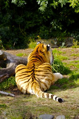 Tiger Butt