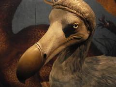 Grumpy, Old, Dead and Stuffed Dodo