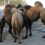 Kashgar Animal Market: Camels Huddle - China