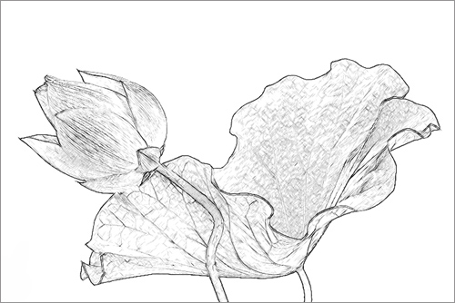 lotus flower imgp0728 sketch a photo on flickriver