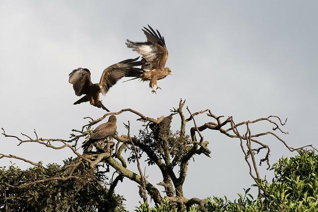 Aquila rapax. Zona de conservación de Ngorongoro, Tanzania