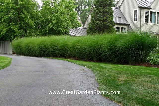 Ornamental grass hedge | Flickr - Photo Sharing!