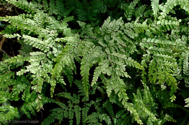 Adiantum formosum - Black Stem Maidenhair