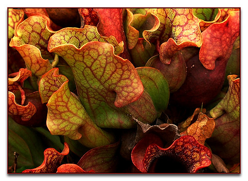 plants garden botanical nc northcarolina pitcher chapelhill diamondclassphotographer flickrdiamond