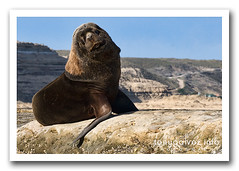 South American sea lion / lobo marino sudamericano