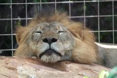 animal, mane, big cats, masai lion, lion, zoo, mammal, fauna, whiskers,
