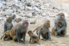 Rhesus Macaque - Photo (c) Paul and Jill, some rights reserved (CC BY)