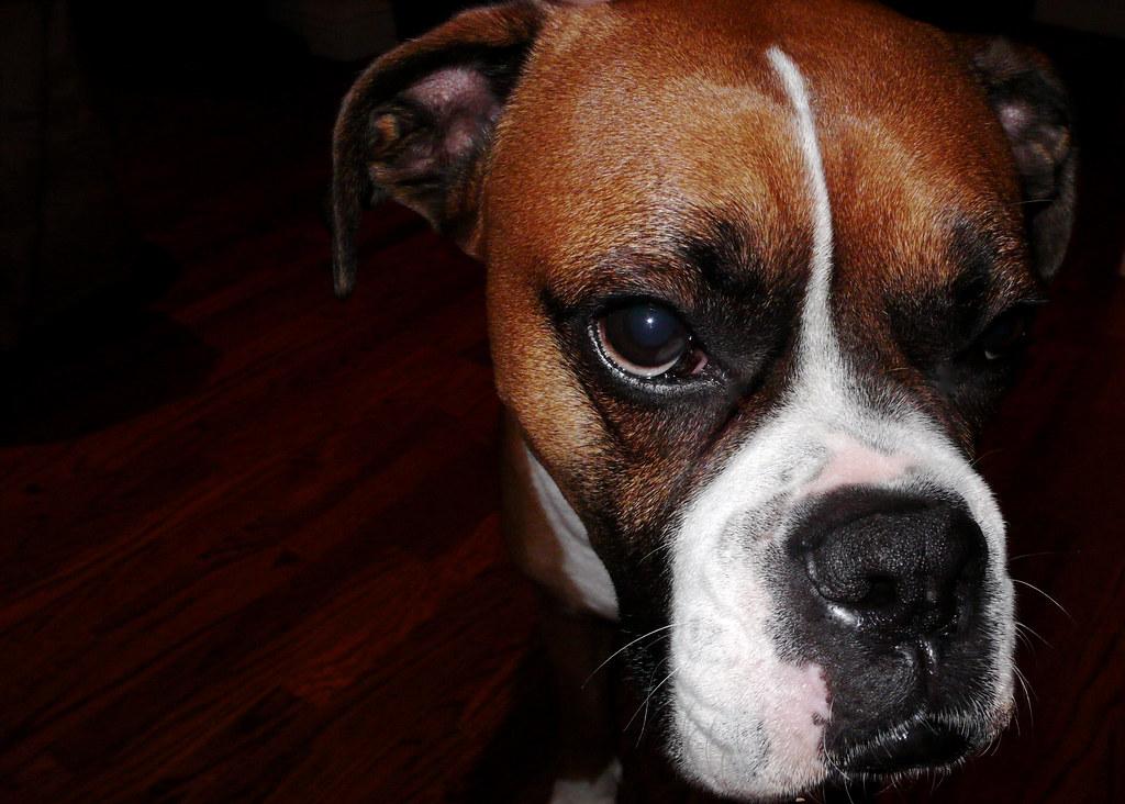 Brown Boxer Machos Face Macho Mah Choh Adjective No Flickr