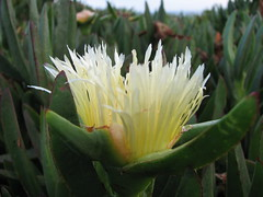 flower, yellow, plant, nature, macro photography, wildflower, flora, close-up, ice plant, plant stem,