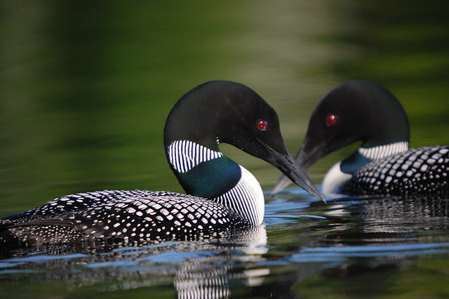 Common Loons by Gary J. Wege