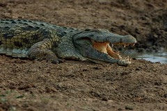 animal, crocodile, reptile, nile crocodile, fauna, american alligator, scaled reptile, alligator, crocodilia, wildlife,