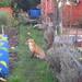 Small photo of Allotment Fox