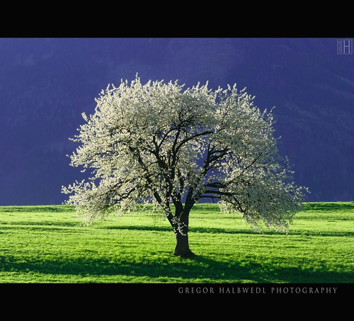 morning trees tree spring bravo mood blossom fresh harmony liechtenstein darkblue greengrass pomp circumstance eschen firstquality pompandcircumstance flourished treesubject