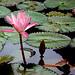 rosa-ninféia