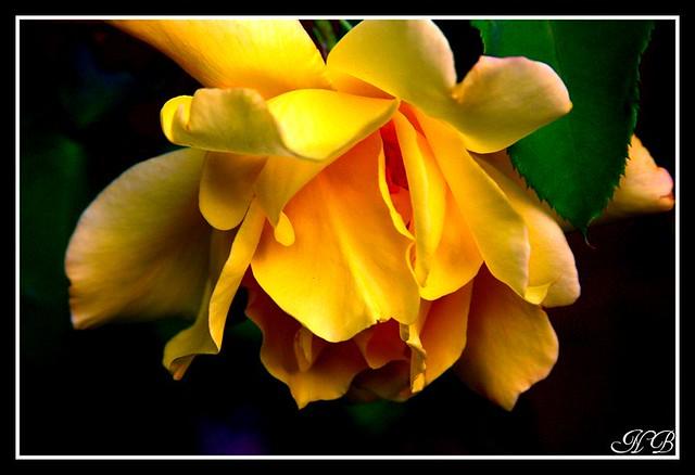 Upside Down Rose Upside Down Rose B Nv Flickr