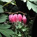 bleeding hearts (pink & white)