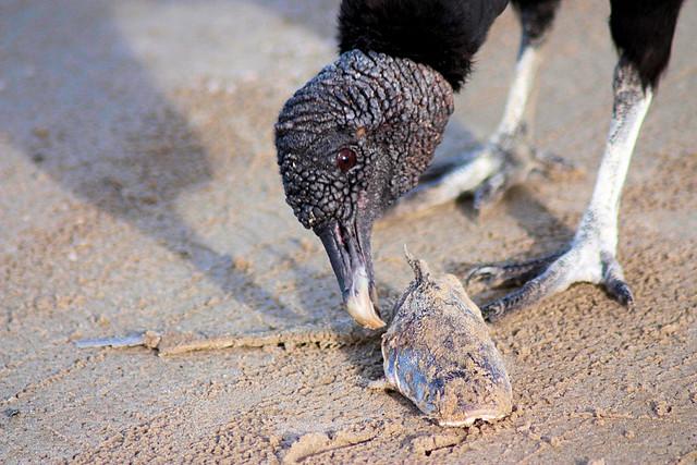 Turkey Vulture Eats Fish   Flickr - Photo Sharing!