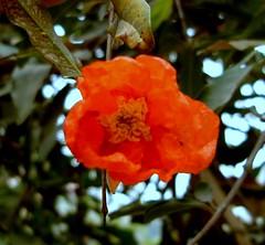 Pomegranate_Flower