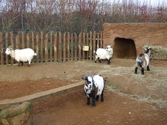animal, farm, mammal, goats, herd, grazing, domestic goat, herding, rural area,