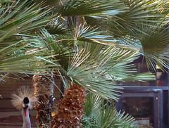 arecales, borassus flabellifer, branch, tree, plant, produce, elaeis,