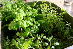 annual plant, plant, garden cress, watercress, basil,