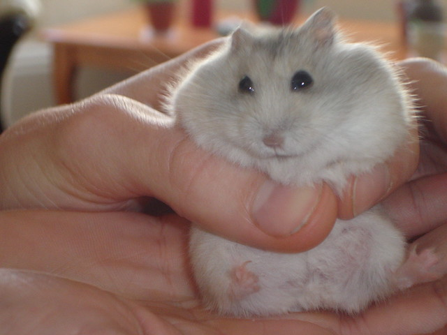Dwarf Russian Hamster Winter White - a photo on Flickriver