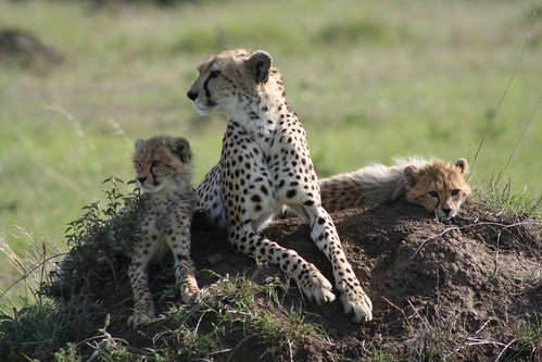Cheetah family - hope for the future