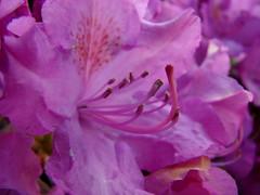 flower, purple, macro photography, close-up, pink, petal, azalea,