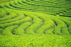 Backgroung and texture for green tea farm