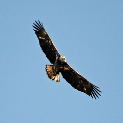 condor(0.0), harrier(1.0), animal(1.0), hawk(1.0), bird of prey(1.0), falcon(1.0), eagle(1.0), wing(1.0), vulture(1.0), fauna(1.0), buzzard(1.0), bald eagle(1.0), accipitriformes(1.0), kite(1.0), beak(1.0), bird(1.0), flight(1.0),