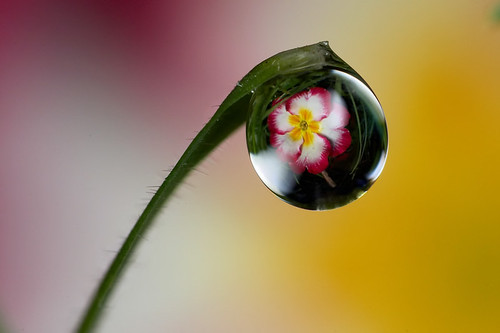 Same dewdrop different flower #1