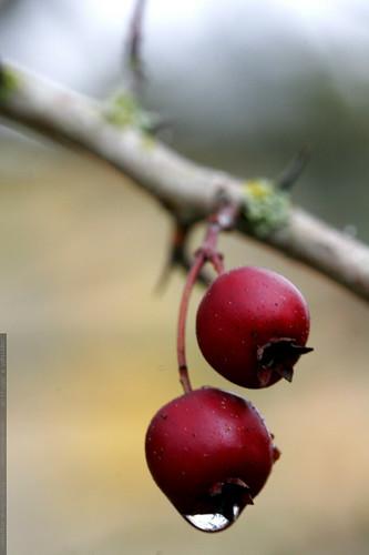 dewdrop on hawthorn berries    MG 6055