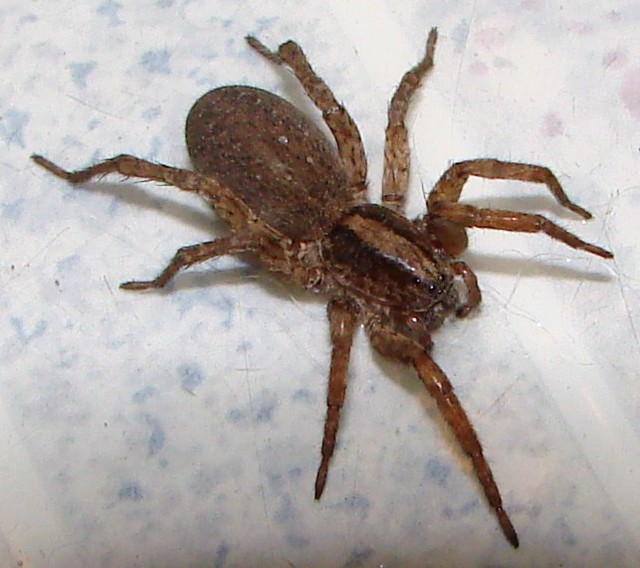 Pictures of Big Brown Spiders http://www.flickr.com/photos/mjhinton/2086248873/