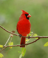 Northern Cardinal - Photo (c) Jerry Oldenettel, some rights reserved (CC BY-NC-SA)