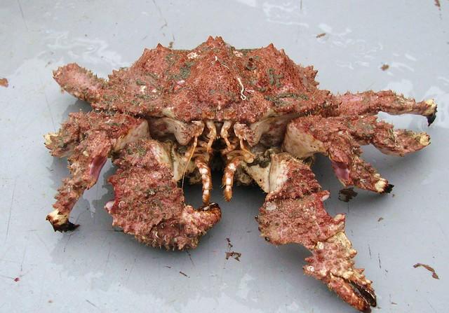 Brown Box Crab (Lopholithodes forminatus)