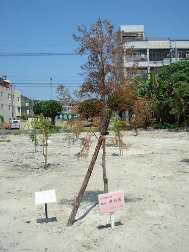 行道樹在重重桎梏下再加上未養護,即使是縣長種下的台灣肖楠,仍難逃萎縮命運。(攝影:蔡嘉陽)