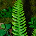Deer Fern - Photo (c) Nick Turland, some rights reserved (CC BY-NC-ND)