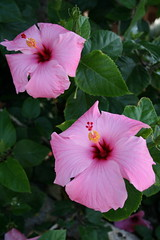 rosa chinensis(0.0), annual plant(1.0), flower(1.0), plant(1.0), malvales(1.0), flora(1.0), chinese hibiscus(1.0), pink(1.0), petal(1.0),