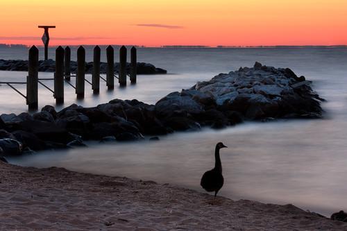 longexposure morning bird beach water sunrise dawn bay pier sand jetty maryland goose northbeach chesapeake canadagoose calvert chesapeakebay calvertcounty oneleg