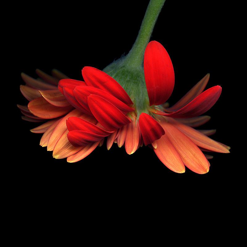 Gerbera delicate by magda indigo